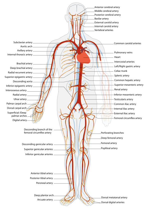Human arteries. Source: https://en.wikipedia.org/wiki/Artery#/media/File:Arterial_System_en.svg